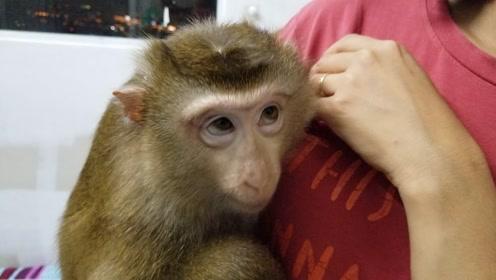 趣味萌宠:调皮小猴子和主人玩耍