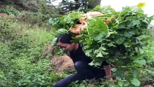 农村萝卜今年大丰收,小媳妇一次扛一筐回家,没人帮忙只好自己干了!