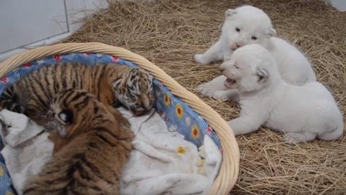 小老虎与小狮子谁更可爱?跟着镜头感受一下,简直要把人萌化了!