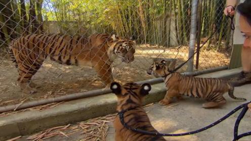 饲养员带小老虎见妈妈,虎妈妈一眼就认出了小老虎,场面感人