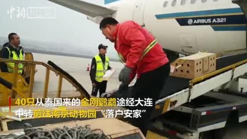 萌!40只会说话的金刚鹦鹉乘飞机前往南京安家落户