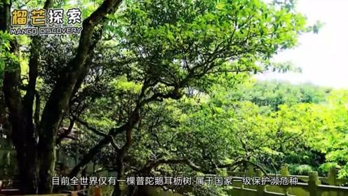 全世界仅有一颗的普陀鹅耳枥树,就在我国浙江,好多老外都来看它