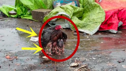 暴雨天气,母鸡为小鸡挡雨,这就是母爱,永远是最伟大的!