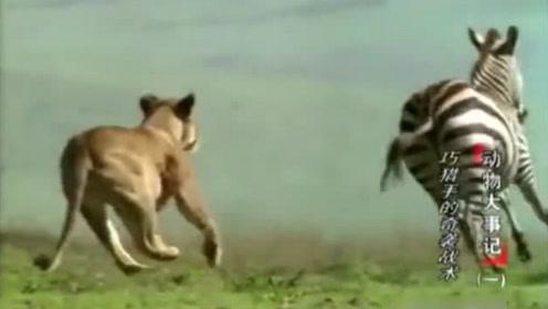 狮子捕捉小水牛,水牛妈妈瞬间暴怒,用尽全力顶飞狮子