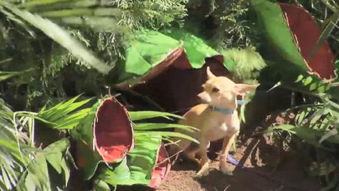 食蝇草一口生吞了一条狗,路人看到后吓到了,镜头记录这一幕!