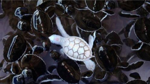 全球仅有的白乌龟,心脏暴露在龟壳外,比大熊猫更稀有