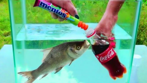 将曼妥思塞入可乐后,放入鱼缸会发生什么?鱼:我做错了什么?