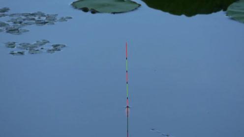钓鱼:傍晚的荷塘,狂连鲫鱼,都有点不想回家了!
