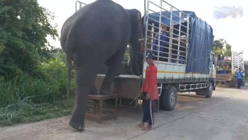 有意思,小货车运大象,若在车上蹦跶两下,这车扛的住不?