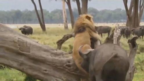 雄狮挑衅水牛,结果被水牛一招致敌,下场真的不忍直视