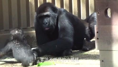 小猩猩死活不想睡觉,没想到大猩猩居然这么做,网友:你下手轻点