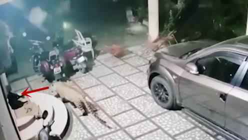 野生豹子闯入居民区,一口咬住看门狗!狗狗:你吓我一跳!