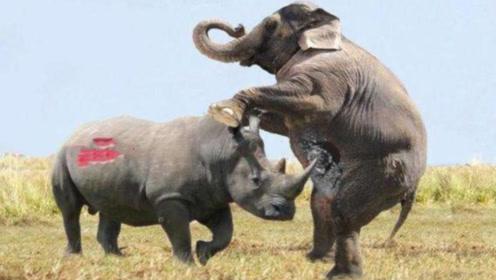 犀牛大战大象,两大重装坦克巅峰对决,究竟谁才是王者?