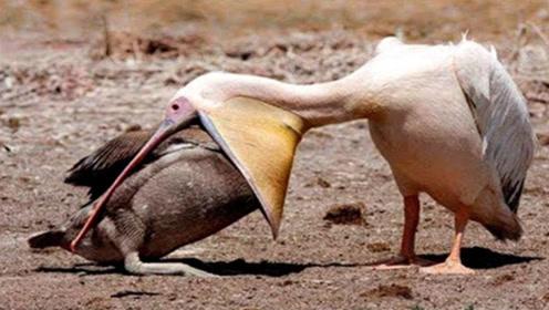 大嘴鹈鹕表演活吞鸽子,鸽子还在嘴里挣扎,就被整吞下肚