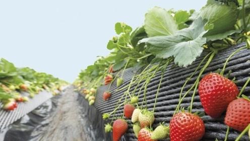 外国大叔发明草莓自动采摘机,这效率太给力了!