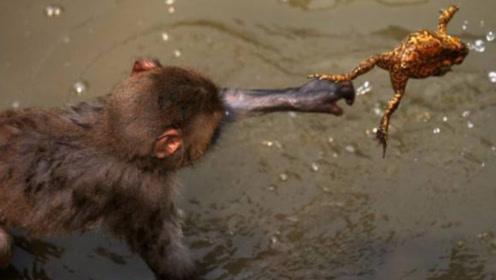 小猕猴抓到蟾蜍觉得好奇,当玩具玩儿紧抓不放,蟾蜍内心都崩溃了