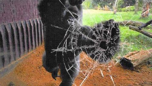 游客模仿大猩猩捶胸,猩猩直接一拳打裂玻璃,镜头拍下全过程