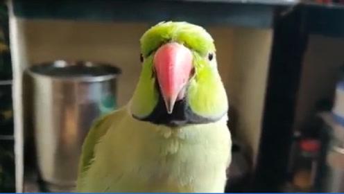 老外给鹦鹉喝白酒,没想到酒量这么好,最后却开始耍酒疯了!