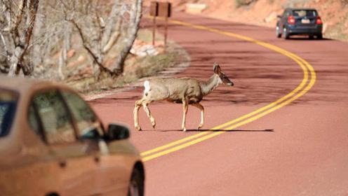 保时捷狂飙150km/h,突然有头鹿挡路,你会如何抉择?