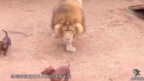 饲养员把两只小狗扔进笼子喂狮子,镜头拍下全过程