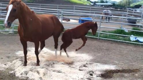 小马驹闹脾气用后蹄踢妈妈,妈妈生气了一脚把小马驹踢懵了