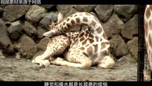 长颈鹿罕见且奇特的睡姿,一天仅睡半个小时,原因让人为之动容