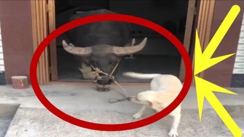 一只牛被一只狗牵着鼻子走,狗狗:这下知道我的实力了!