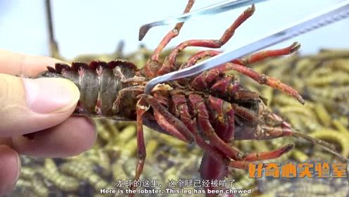 实验:把一只活的小龙虾放进大麦虫堆里,大麦虫多久能把它消灭?