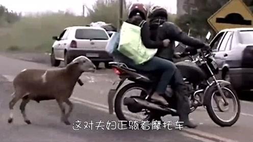 这头羊智商够高,遇到它的人无一幸免,真实太皮了