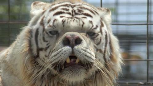 """动物园""""傻""""老虎走红,一双大眼面容呆板,放回自然要被歧视!"""