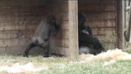小猩猩为了逗父亲开心,想尽所有办法,猩爸简直满脸无奈和愤怒