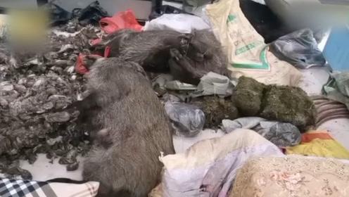 冷鲜店查出7000余只野生动物死尸,老板娘阻挠执法自称有病