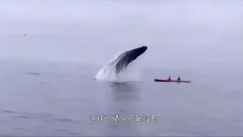 去海滩冲浪有风险,刚出发就遇上了虎鲸,一个泰山压顶就落下来了,真惨!