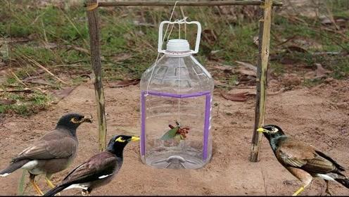 美女教你制作捕鸟陷阱,你觉得怎么样啊?