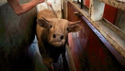 杀牛不见血,牛根本来不及挣扎就挂了,一天可杀成千上百头