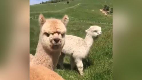 羊驼虽可爱,但是请小心它的口水。。。你瞅我干啥?
