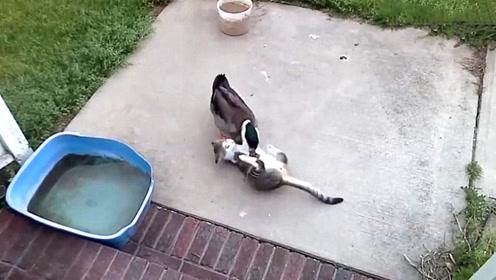 鸭子看到小猫咪躺在地上,二话不说上来就啄,鸭子:太可爱了没忍住!