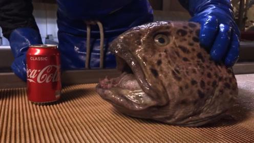 狼鳗有多凶猛?即使只剩下一个头,也能轻松咬碎罐装可乐