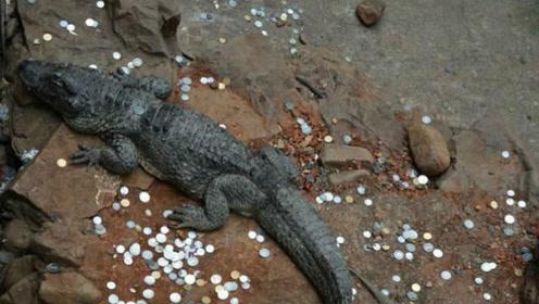 日本动物园鳄鱼死亡,医生从其肚中发现330枚硬币,都是投币祈福惹的祸?