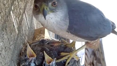 雏鸟以为妈妈回来了,激动张嘴等待喂食,老鹰却给了它们致命一击
