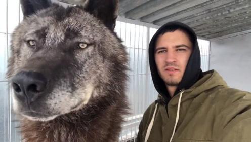 """世界上最大的狼,却被小哥当哈士奇养,一举一动和""""二哈""""如出一辙!"""