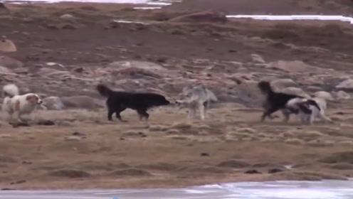 野狼闯入藏獒领地,下一秒以一敌六大战藏獒,镜头记录精彩全过程