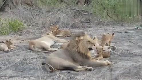 雄狮挺凶啊,小狮子趴在它背上玩都不给