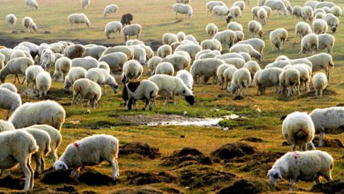 """羊群""""糟蹋""""村民粮食啥后果全部""""咬死""""不为过"""