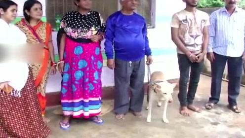 印度男正午睡巨型眼镜蛇闯家 为救主宠物狗搏斗半小时将蛇撕两半