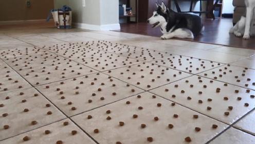 老外将1000颗狗粮摆在地上,二哈充分展示啥叫推土机!让人大笑