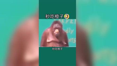 动物最聪明的是猩猩吗?这猩猩会魔术,秒吞橘子!