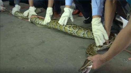 """""""砰""""的一声,天花板掉下40斤大蟒蛇!多名壮汉合力制服"""