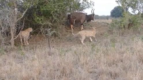 瞪羚惨遭3头花豹围攻,情急之下,直接钻进了荆棘丛中