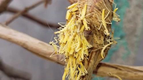 花几十元买了5个螳螂卵,放在葡萄树上孵化出几百只小螳螂,霸气